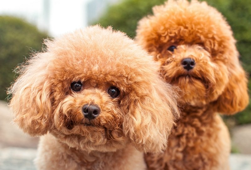 grooming-pada-anjing-peliharaan-harus-sesuai-dengan-bentuk-dan-jenis-bulunya-DW0dsftesI