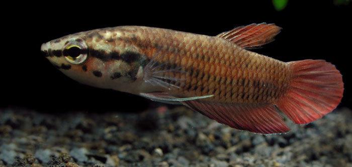 ikan cupang Betta picta