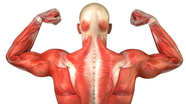 Bagaimana Anatomi Dan Cara Kerja Fisiologi Otot Rangka Atau Lurik Ilmu Kedokteran Dictio Community