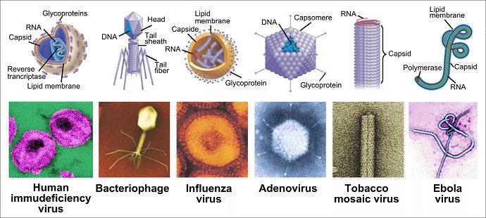 Susunan Tubuh Virus