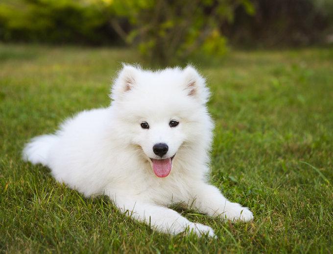 samoyed-dogs-puppies-1
