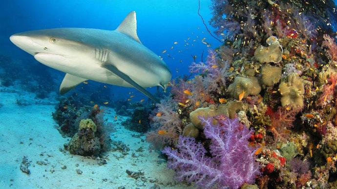 ikan hiu dan terumbu karang