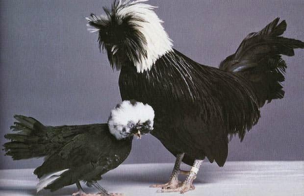 ayam poland hitam