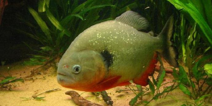 Ikan piranha Pygocentrus Cariba