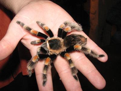 h tarantula