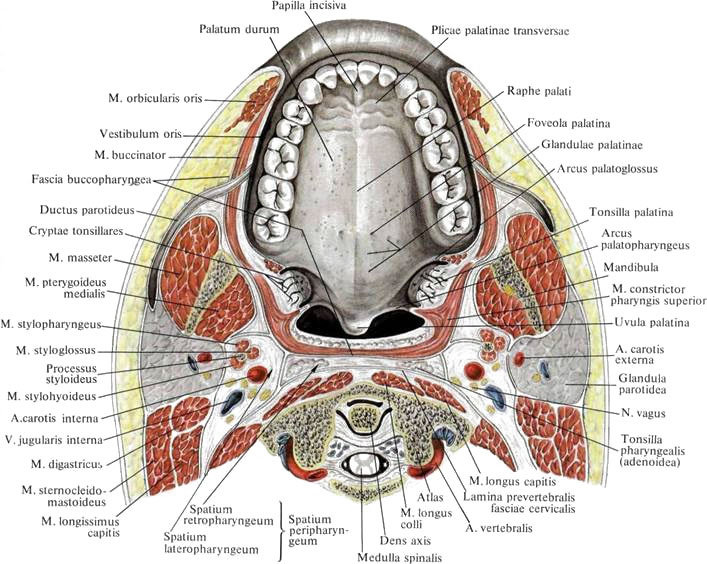 Anatomi Palatum