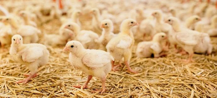 Bagaimana Cara Membedakan Doc Ayam Jantan Dan Betina Pada Ayam Broiler Diskusi Peternakan Dictio Community