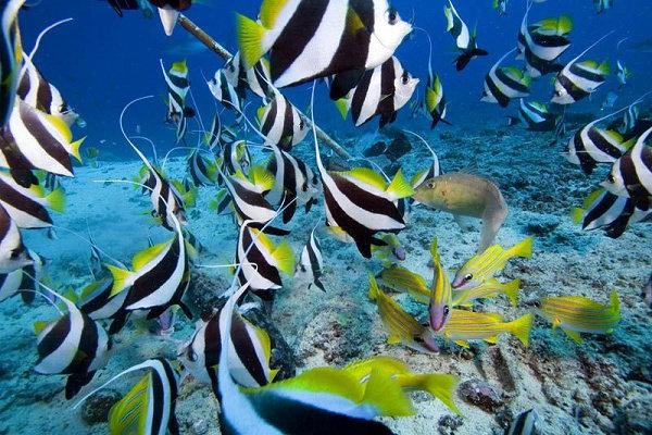 False moorish idol atau Schooling bannerfish (Heniochus diphreutes)