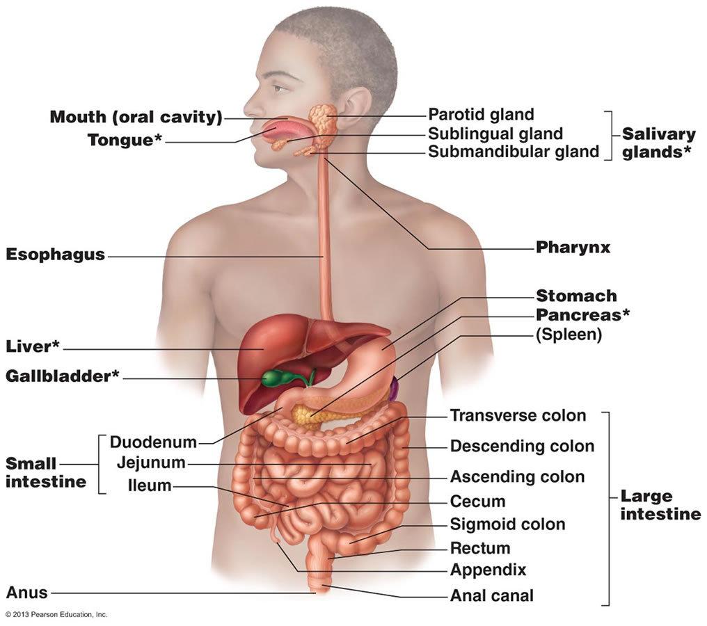 Anatomi Sistem Pencernaan Manusia