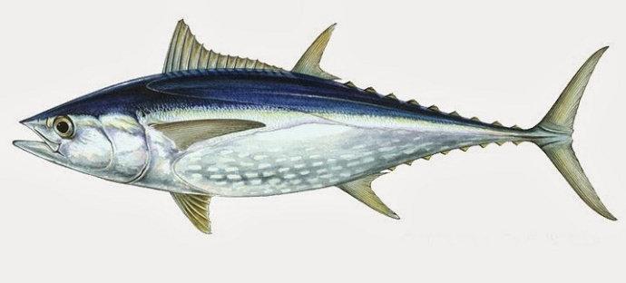 Apa Bedanya Ikan Tuna Tongkol Dan Cakalang Diskusi Perikanan Dictio Community