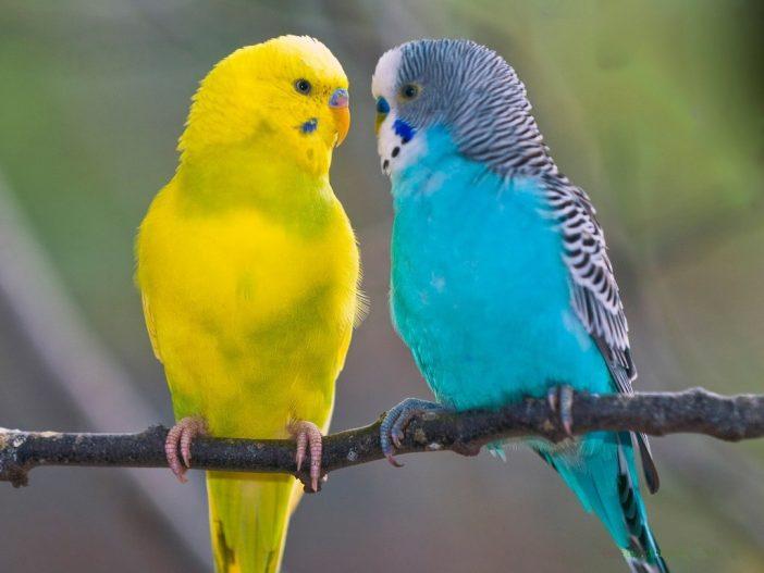 Bagaimana Cara Membedakan Burung Lovebird Jantan Dan Betina Hewan Peliharaan Dictio Community
