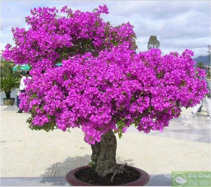 Bougenville atau tanaman bunga kertas 4