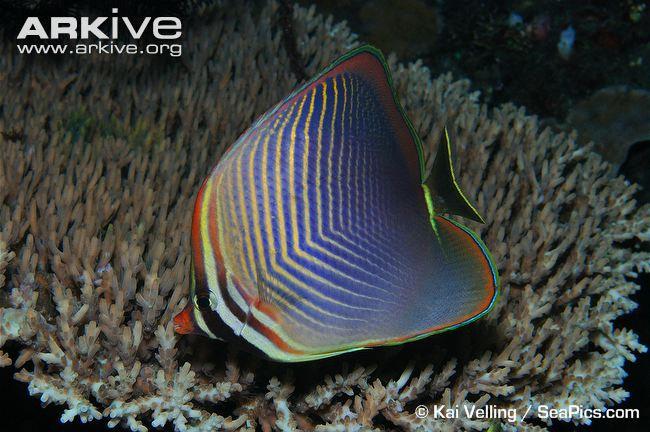 Triangle butterflyfish (Chaetodon triangulum)