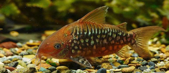 ikan Corydoras