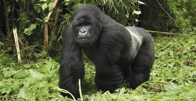 Gorila timur