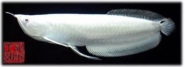 Ikan Arwana Super Platinum