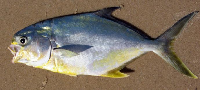 Ikan Kuwe Florida