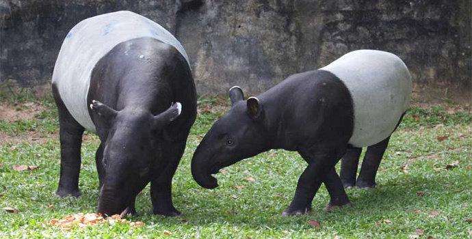 22+ Hewan tapir terbaru