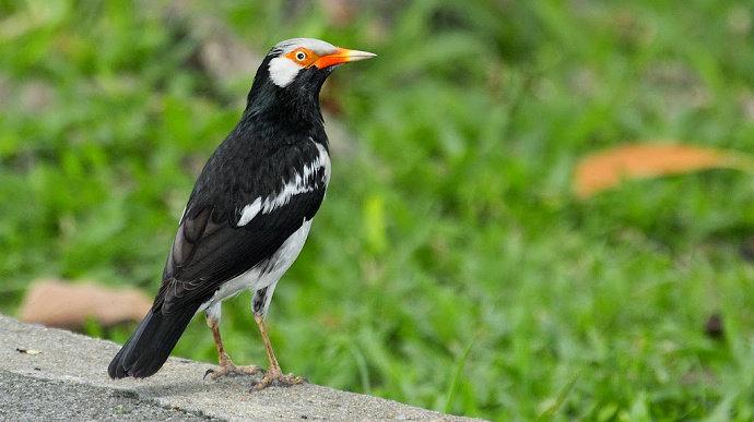 Burung jalak uren