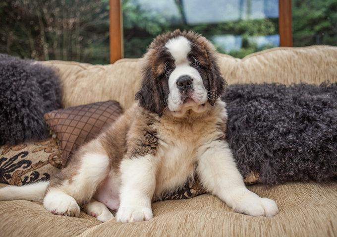 saint-bernard-dogs-puppies-2