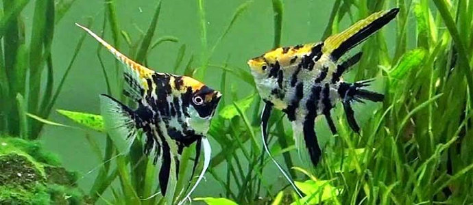 Bagaimana Cara Pembesaran Pada Ikan Manfish Atau Angelfish Diskusi Perikanan Dictio Community