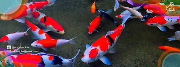 Bagaimana Cara Mencerahkan Warna Ikan Koi Diskusi Perikanan Dictio Community