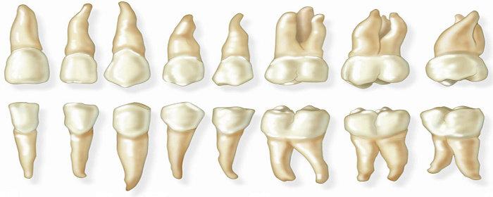 Pertumbuhan gigi