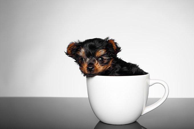 teacup-yorkie-puppy-3
