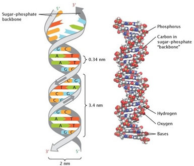 Struktur dan komponen untai ganda DNA