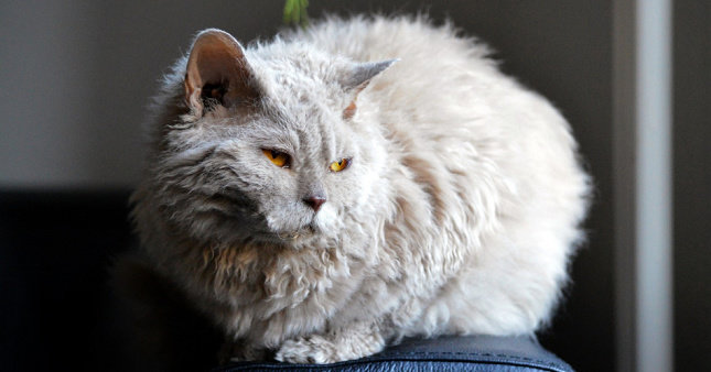 Kucing Lambkin Dwarf