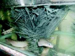 Ikan Palmas atau ikan naga