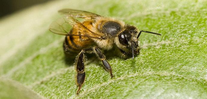 Lebah madu Afrikanisasi