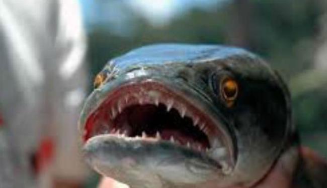221588_giant-snakehead-ikan-asli-indonesia-yang-lebih-ganas-dari-piranha_663_382