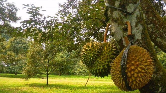 Durian-Candimulyo-image-source