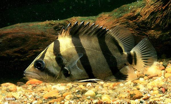 Ikan Datz Golden