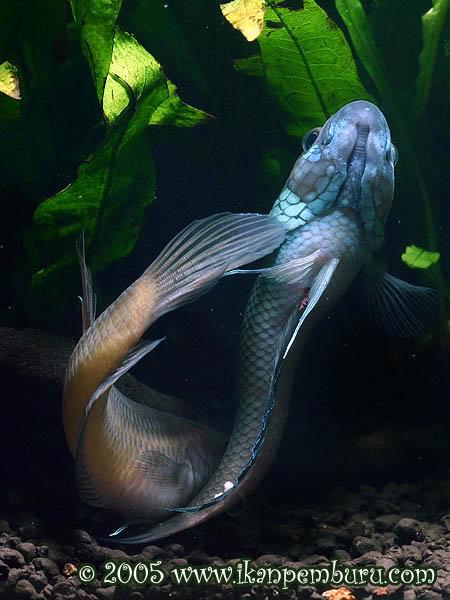 ikan cupang Betta Ocellata