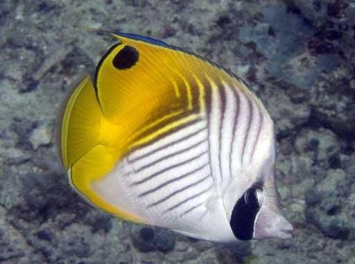 ikan Threadfin / Golden / Diagonal Butterflyfish /Kepe Panahan