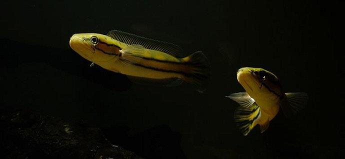 Ikan Diplogramma