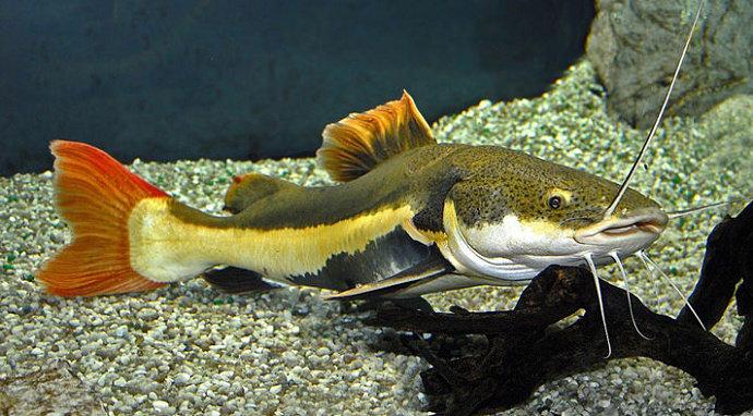 Ikan Red-Tailed Catfish