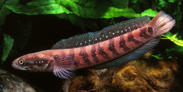 Ikan Gabus Asiatica