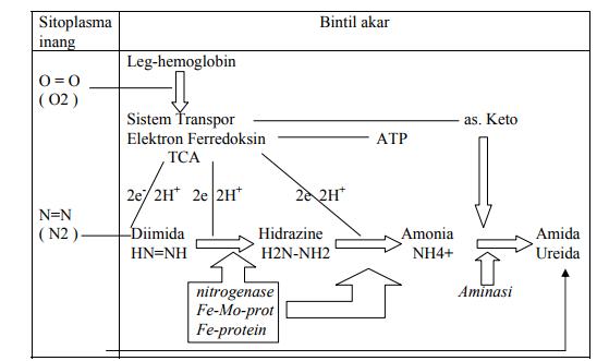 Reaksi fiksasi N2 pada Rhizobium