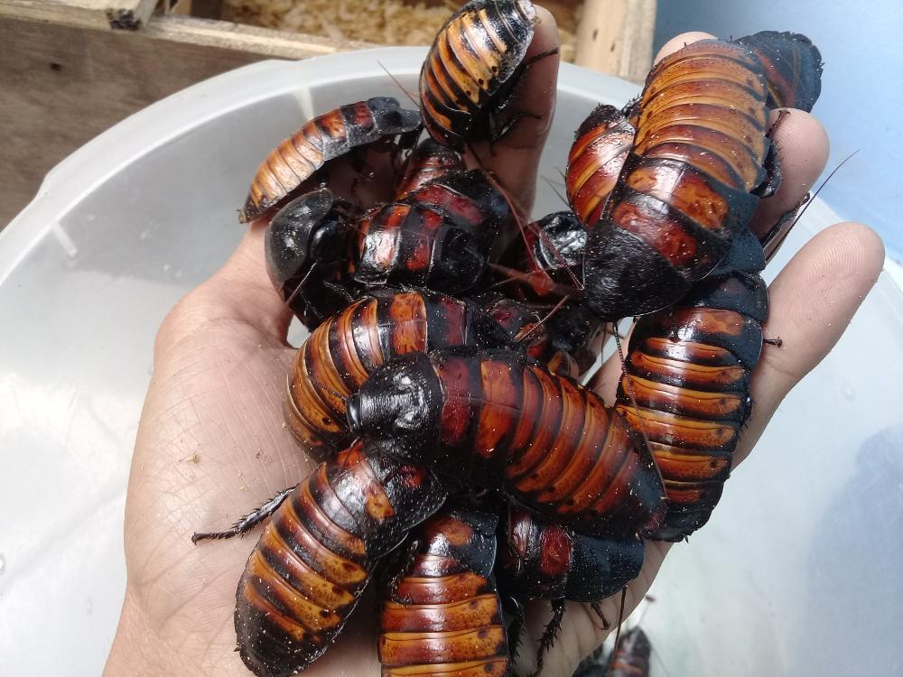 kecoa_madagascar__madagascar_hissing_cockroach