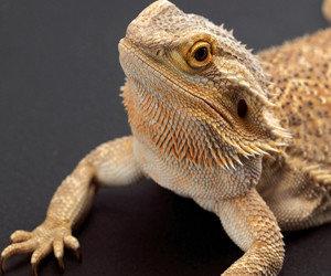 Gambar-bearded-dragon-300x250
