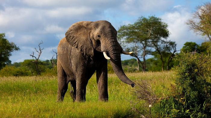 Bagaimana Ciri Ciri Perbedaan Gajah Asia Dan Afrika Diskusi