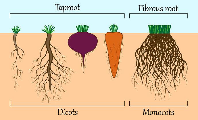 Apa yang anda ketahui tentang akar tumbuhan? - Biologi ...