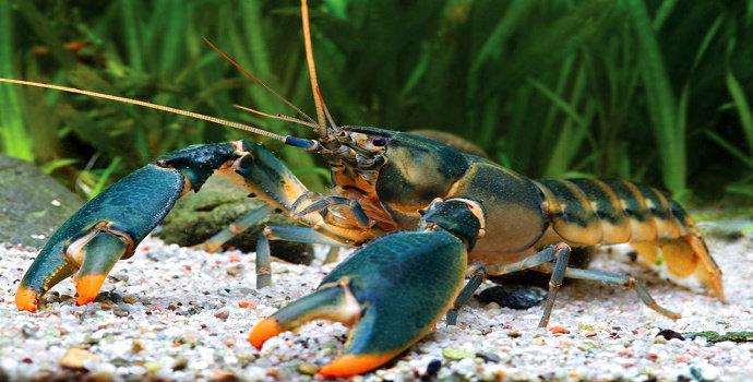 Dark blue lobster
