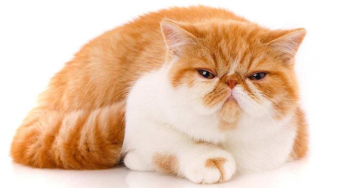 Kucing Exotic Shorthair