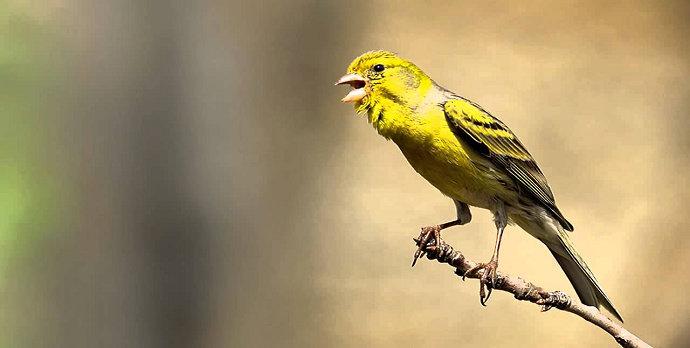 Bagaimana Cara Melatih Burung Kenari Agar Bisa Berkicau Merdu Dan Lama Hewan Peliharaan Dictio Community