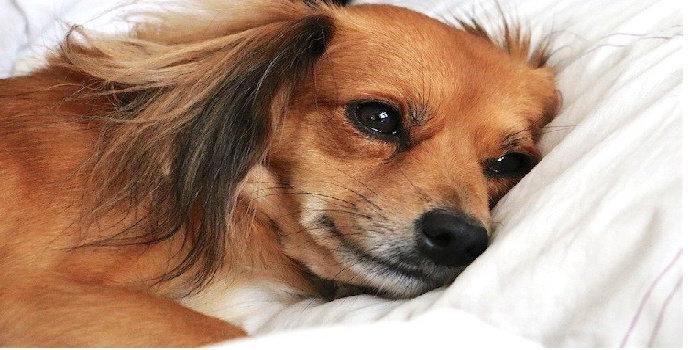 Apa yang terjadi anjing tidur di tempat tidur dengan manusia?