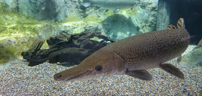 Ikan Aligator Gar